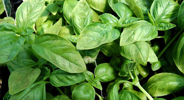 http://channelmfm.blogspot.com/2016/09/Health-Benefits-Of-Basil-Leaves-That-You-Should-Know.html
