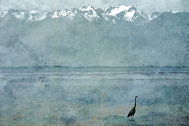 A heron on the hunt at Wittys Lagoon in Metchosin, BC...
