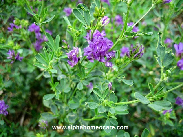 Alfalfa or Medicago sativa