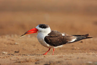 chambal-has-all-beauty-with-the-skimmer-birds-who-are-on-the-verge-of-extinction