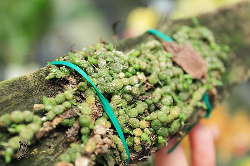 蘭科植物園蘭花溫室