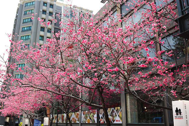台中北區香蕉新樂園-櫻花盛開