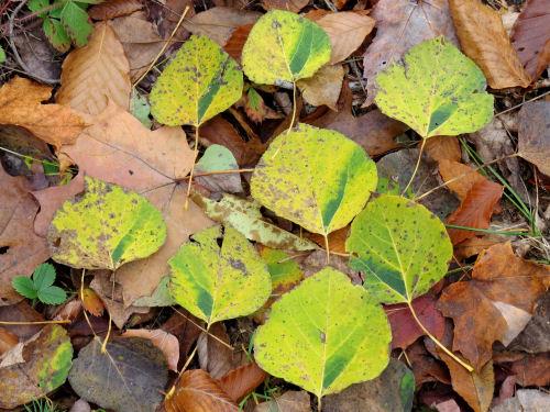streaked aspen leaves