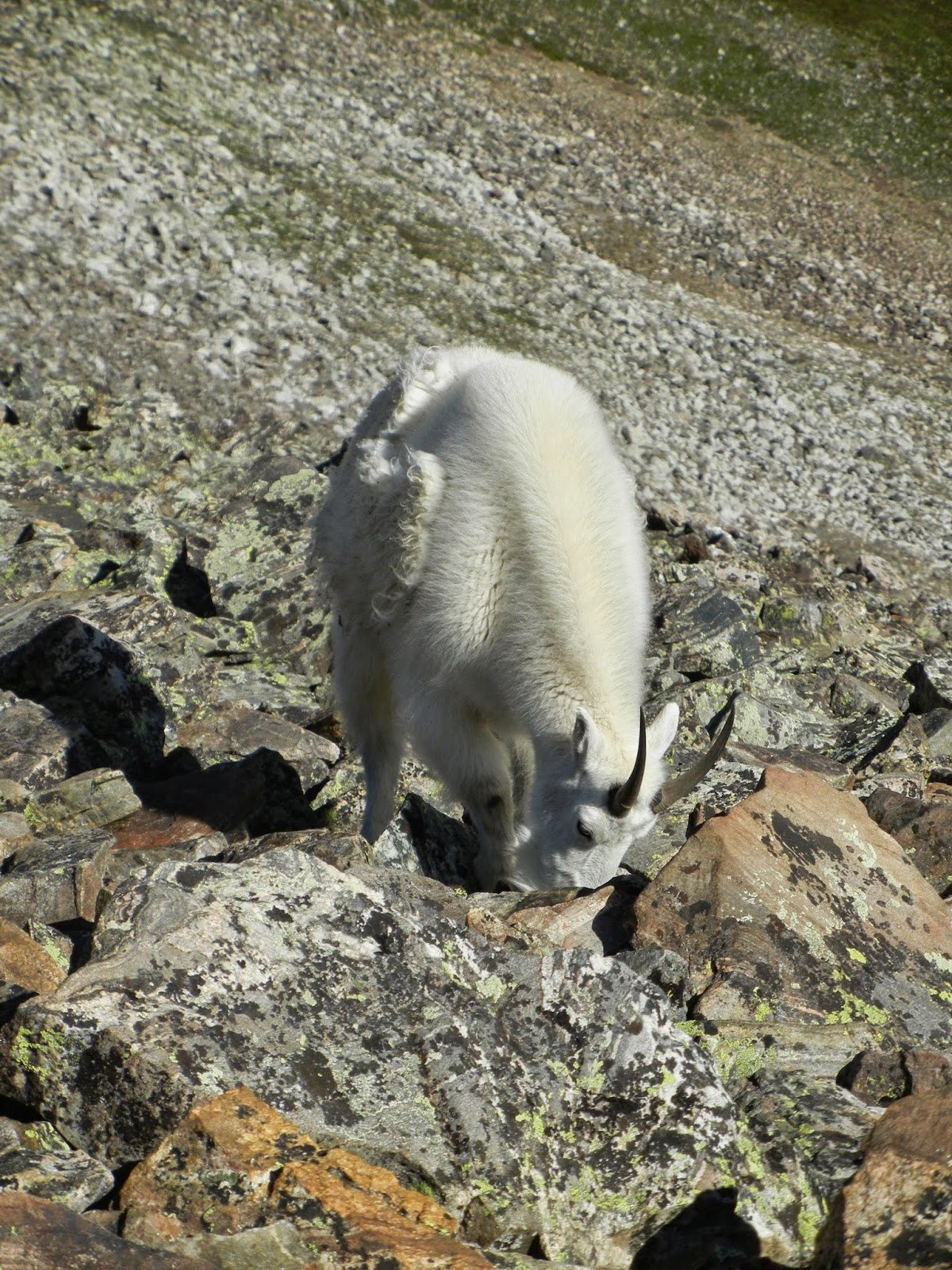 hike quandary peak advice photos colorado 14er mountain goat