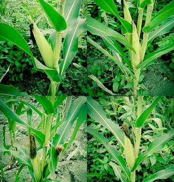 Tanaman jagung yang kekurangan nutrisi