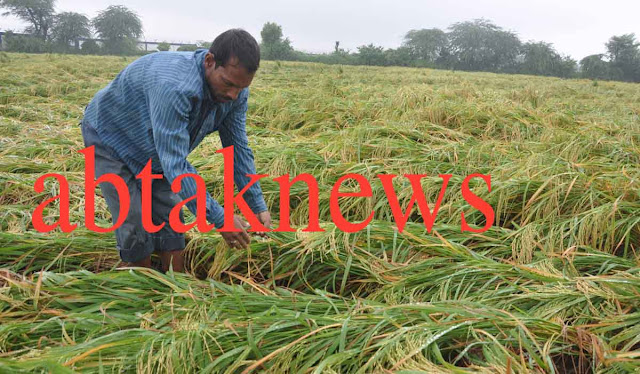 paddy-crops-demage-after-heavy-rain-faridabad