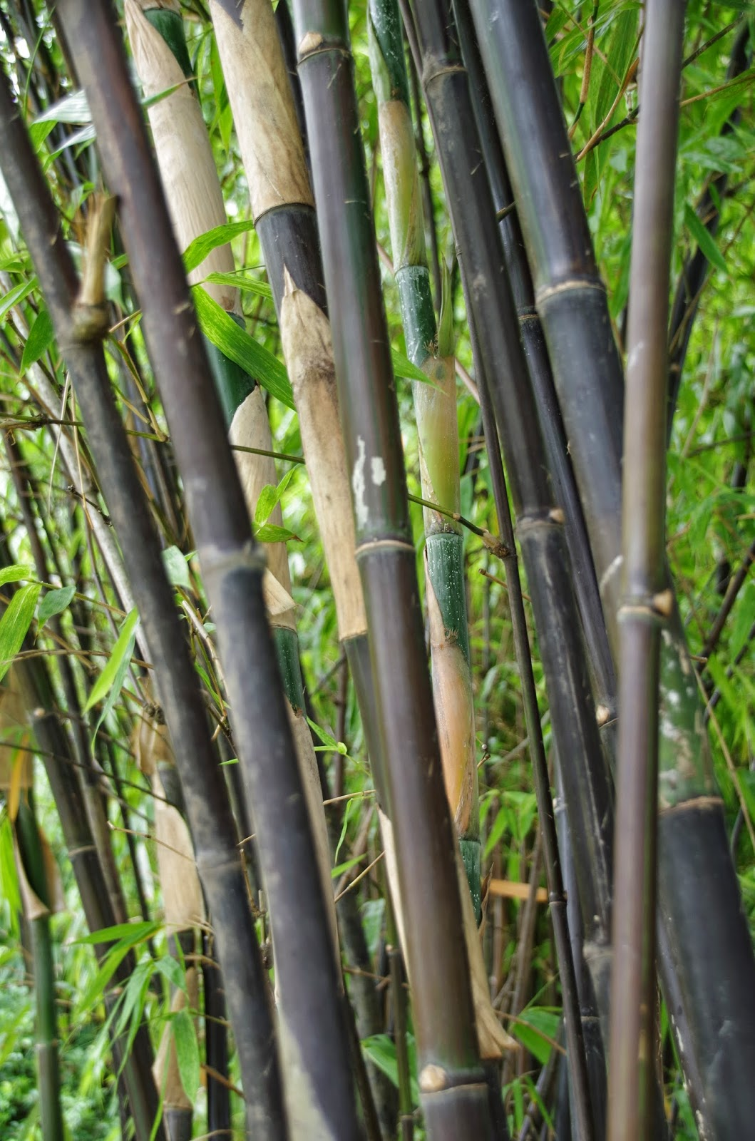 Trees And Plants Black Bamboo