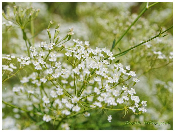 Sierpnica pospolita Falcaria vulgaris
