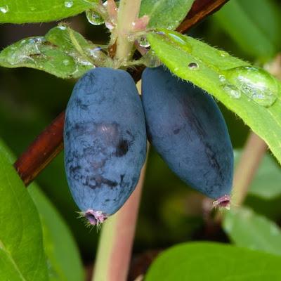 owoce jagody kamczackiej Nimfa