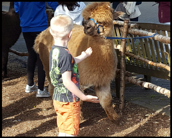 Find out all about Alpacas at the Sandy Balls complex in the New Forest