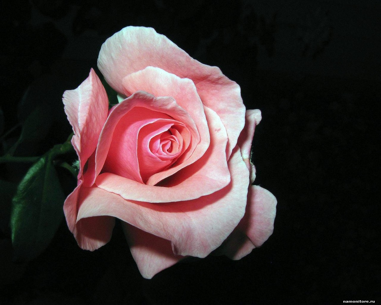 beautiful pink rose flower - hd collection zone