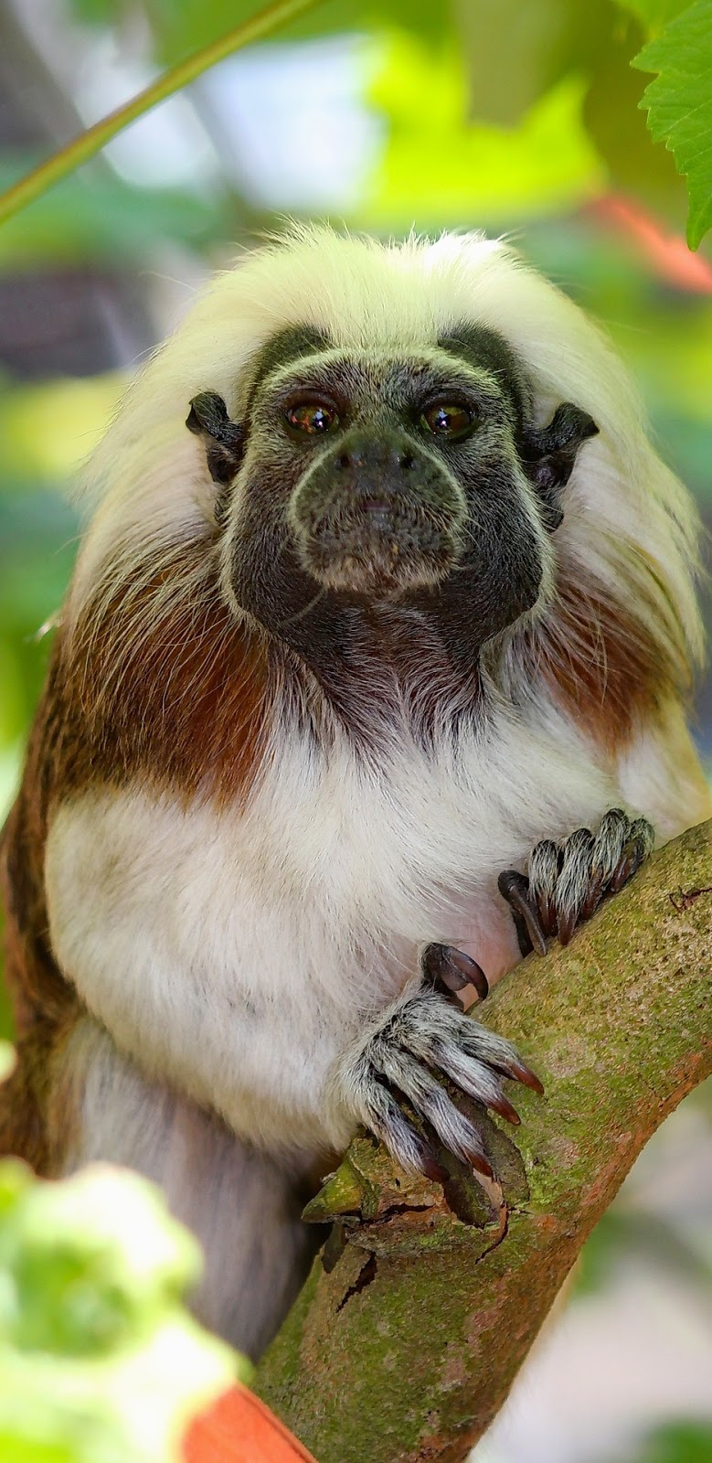 Picture of a tamarin.
