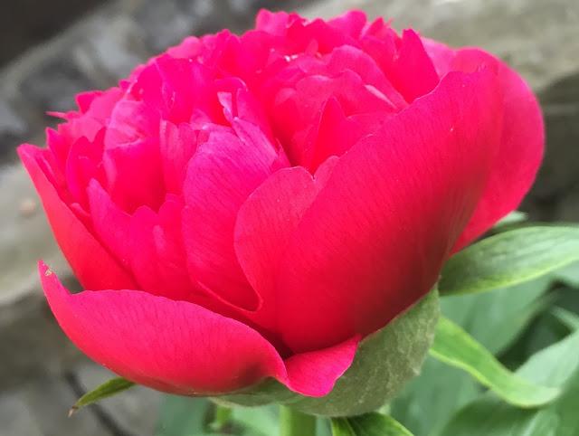 Pfingstrosen-Blüte
