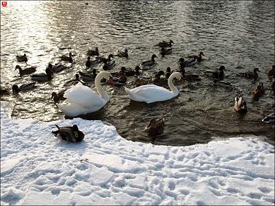 Минск. Лебеди на Свислочи