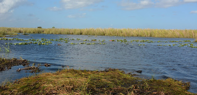 Everglades Rivers grass