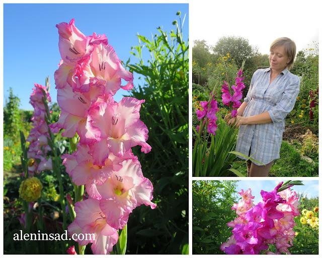 розовые, гладиолусы, присцилла, сорта, выращивание из половинок, разрезанные, клубнелуковицы, луковицы, аленин сад, огород
