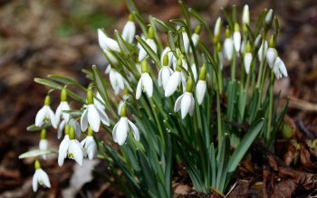 Wallpaper: Snowdrops! Welcome Spring