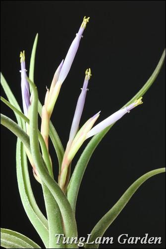 bán cây không khí, cây không khí Hà Nội, airplant, cây nội thất, hoa nội thất, hoa treo