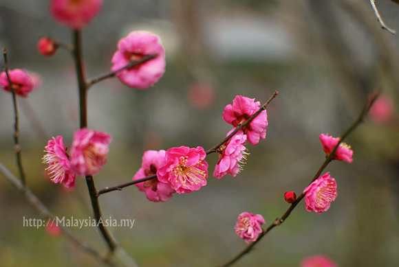 Photo of a Cherry Blossom in Kyoto