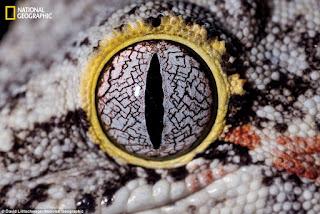 Gargoyle Gecko atau kadal