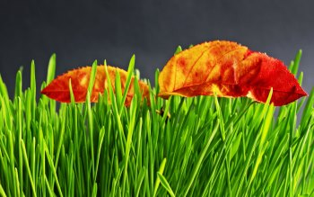 Wallpaper: Dried leaves on green grass