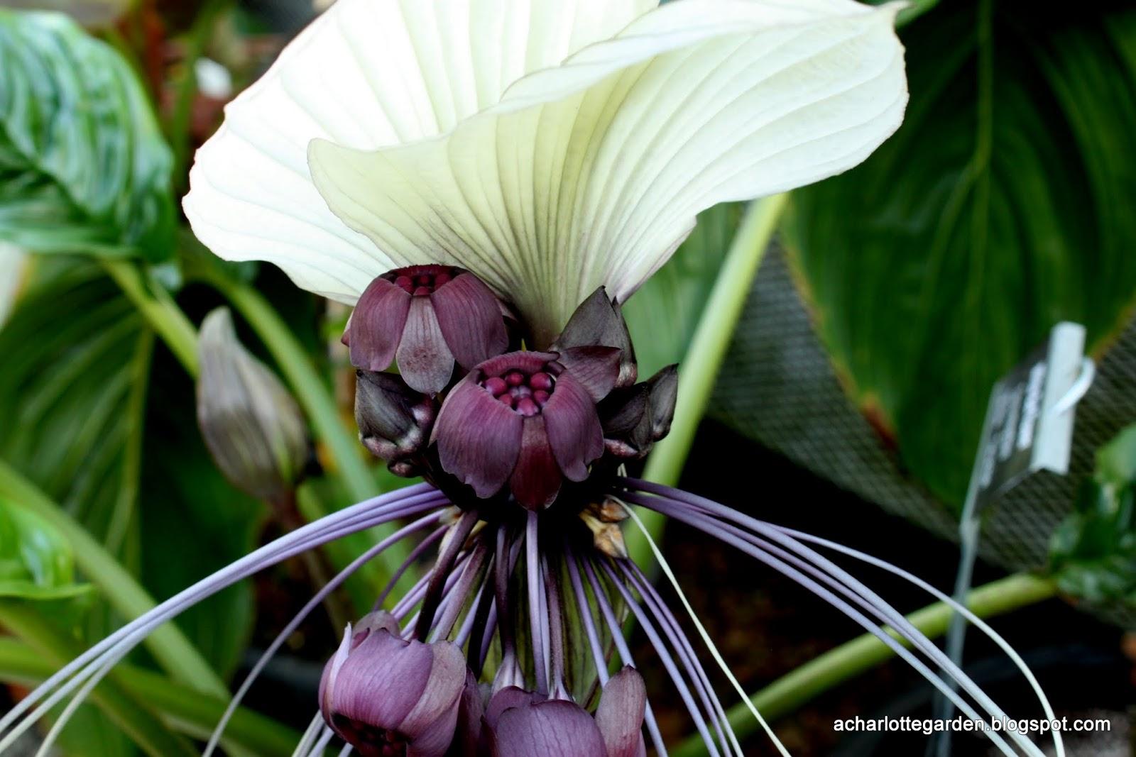 Una pianta del pipistrello del giardino di Charlotte-7043