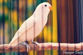 Jenis Burung Lovebird albino