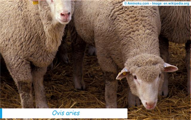 Fakta unik domba