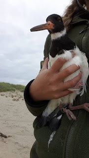 Oystercatcher ringing by Dan Rouse