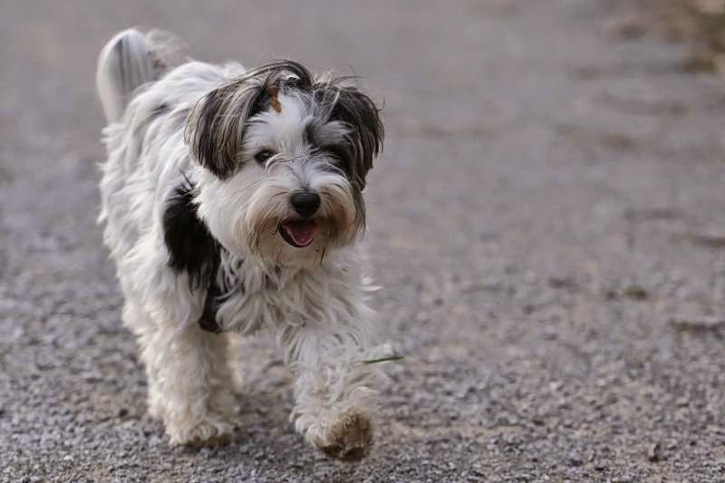 Biewer Yorkshire Terrier Lotta unterwegs mit Freunden am Kanal
