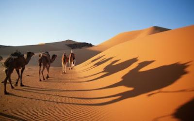 onta di padang pasir