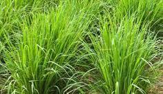 Program tanaman serai hebohkan warga desa