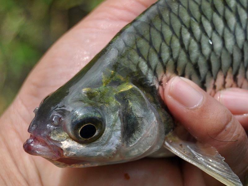 klasifikasi dan Morfologi ikan tawes (puntius javanicus)
