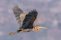 Purple Heron - Birds In Flight Photography: Canon EOS 7D Mark II Gallery Copyright Vernon Chalmers