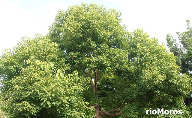 Alcanforero Cinnamomum camphora