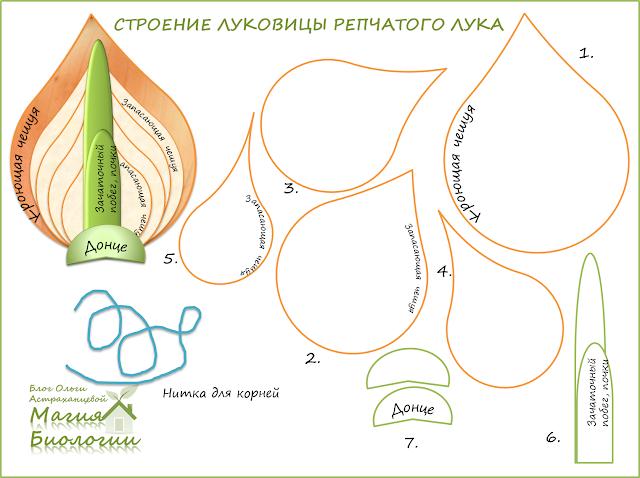строение-луковицы-модель-распечатка