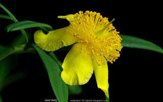 http://fotobabij.blogspot.com/2015/03/dziurawiec-olimpijski-kwiat-hypericum.html