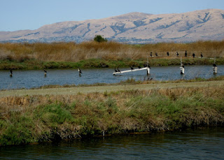 Cormorants on posts and a rail over water, San Francisco Bay shoreline, Diablo Range in the background, Sunnyvale, California