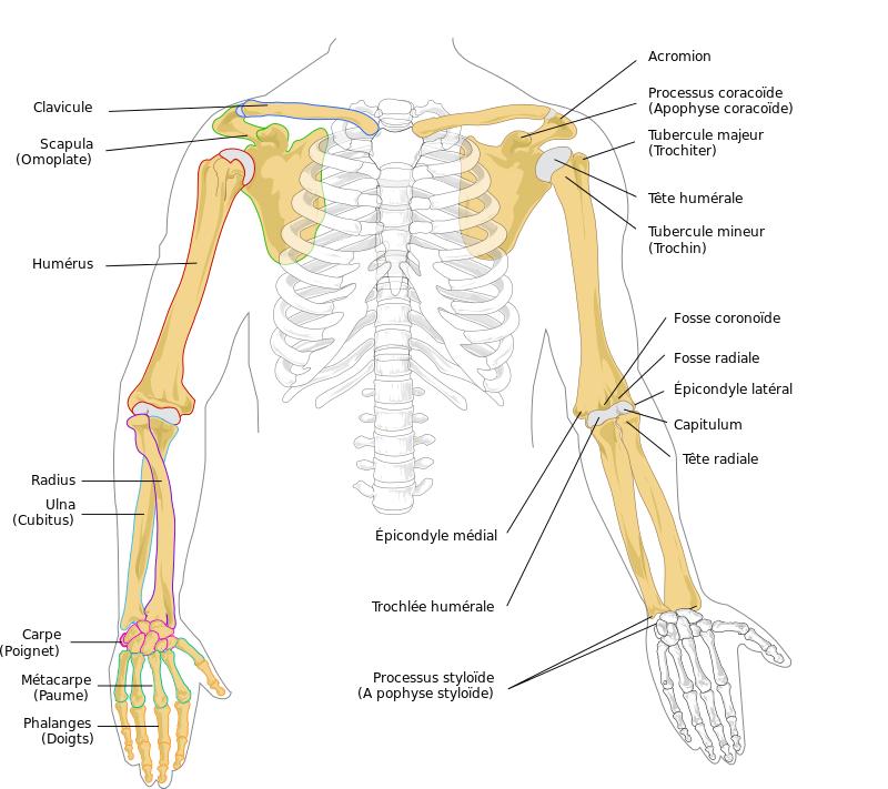 anatomie membres supérieurs bras ostéologie infirmier
