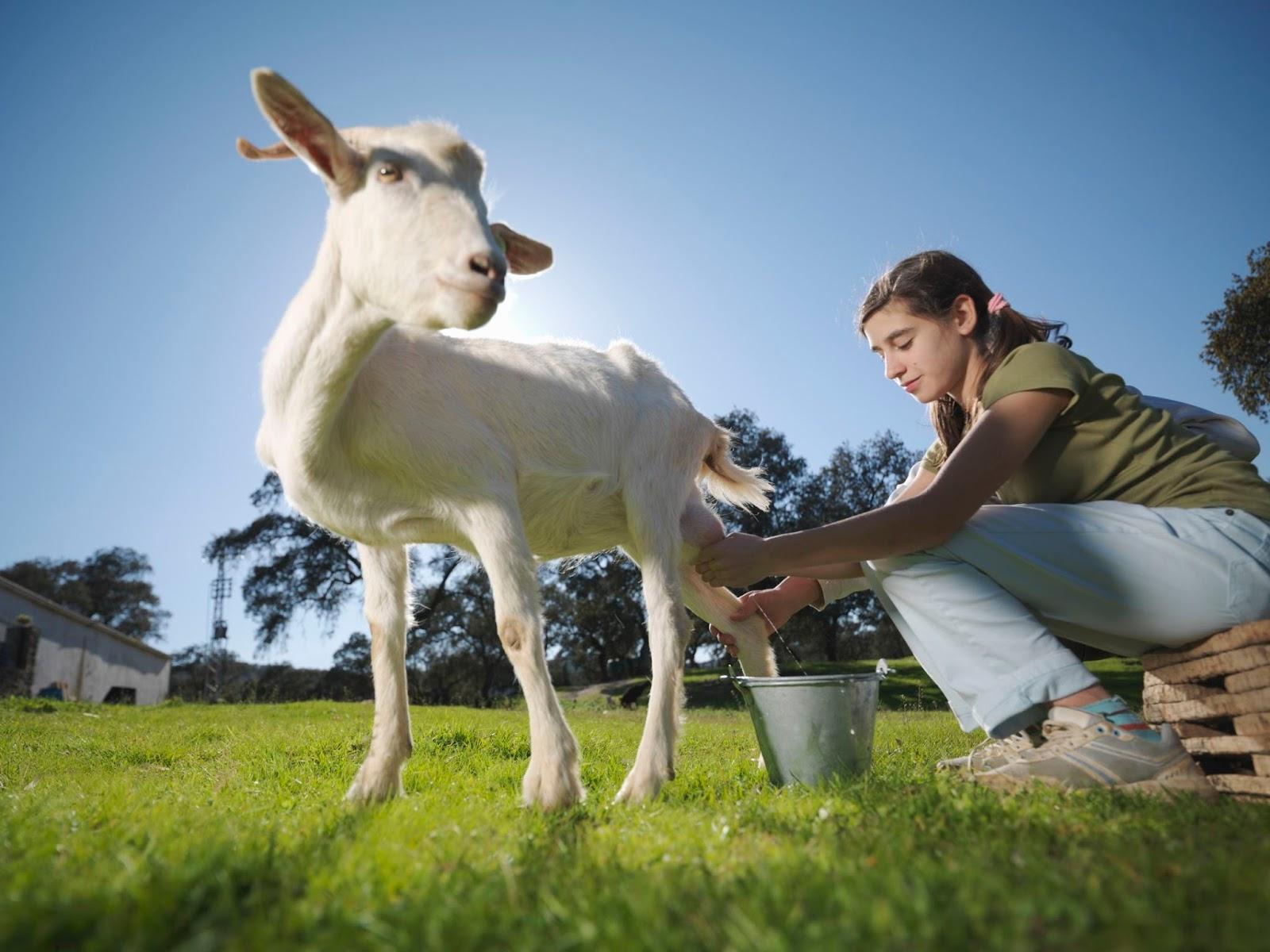 Khasiat dan manfaat susu kambing
