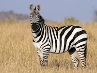 The Zebra Facts