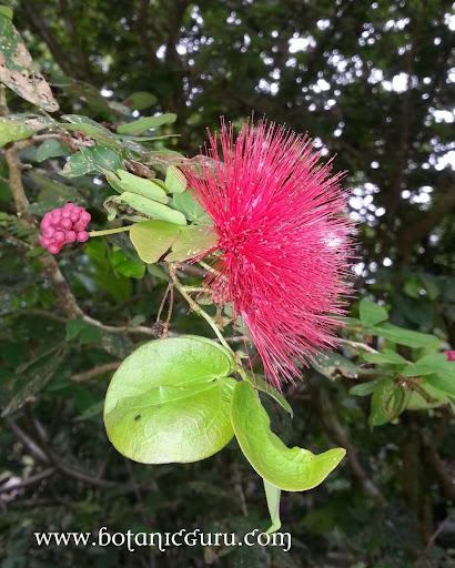 Calliandra tergemina var. emarginata, Powderpuff Plant