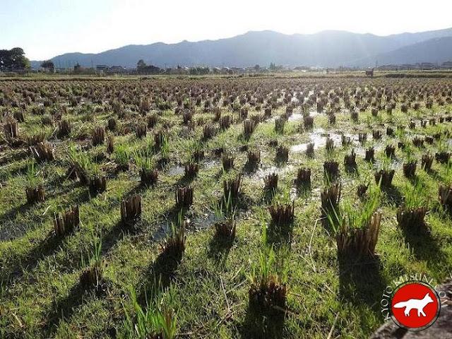 champ de riz en automne à Kyoto au Japon
