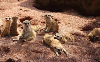 Wallpaper: Cute meerkat relaxing