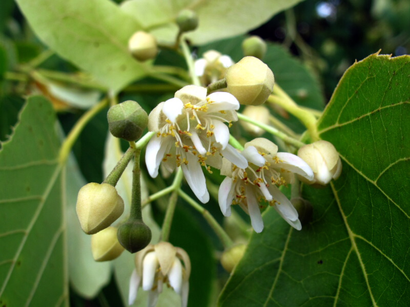 The joyce road neighborhood wildflower basswood the 5 petaled fragrant yellow white flowers grow in small clusters the basswood trees in our neighborhood bloom about every other year and its hard to mightylinksfo