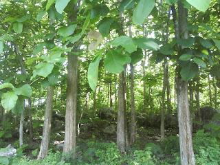 Prospek yang menguntungkan dari bertanam pohon jati