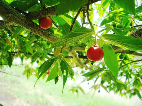 Arcelife_Styles: Mansanitas Fruit Tree..