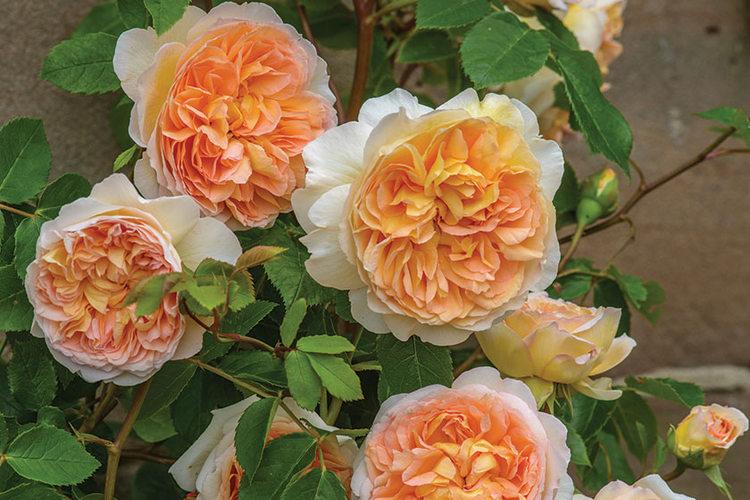 Rosa Bathsheba David Austin Roses