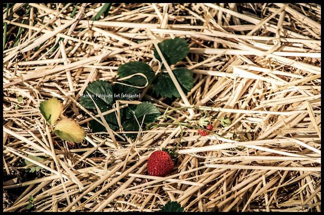 fraise potager bio maison