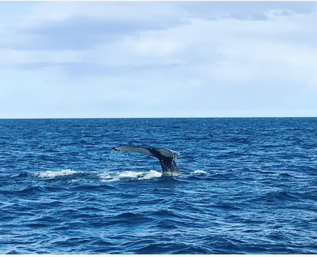 rejs wieloryby Islandia